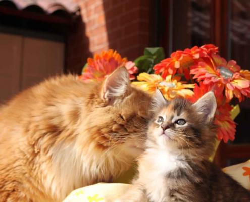 Perché amare un gatto Maine Coon: carattere dolce e giocoso, mai aggressivo
