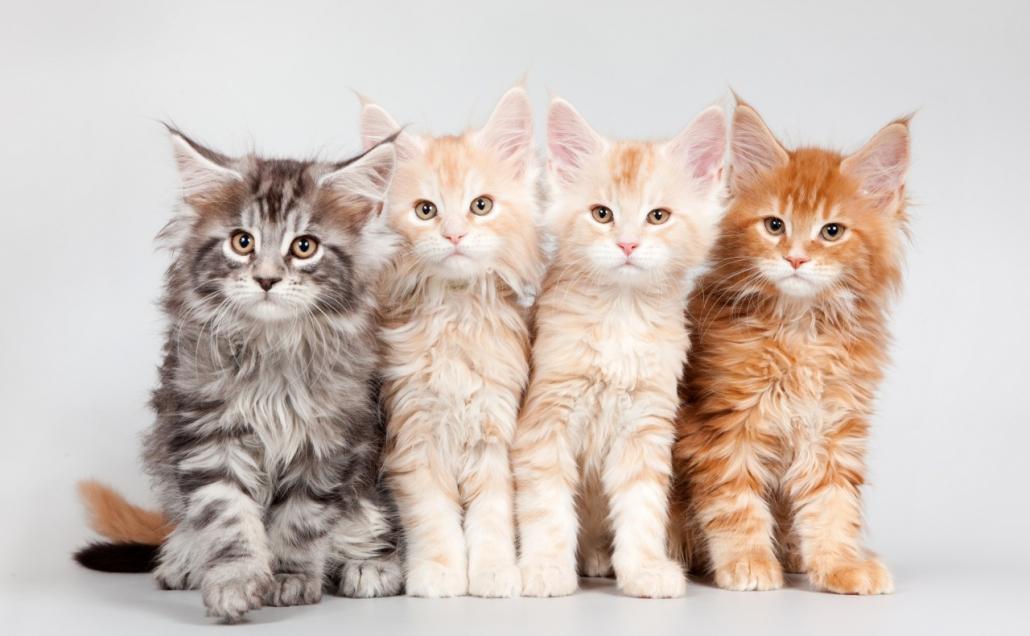 Quali sono i colori del gatto Maine Coon e come riconoscerli