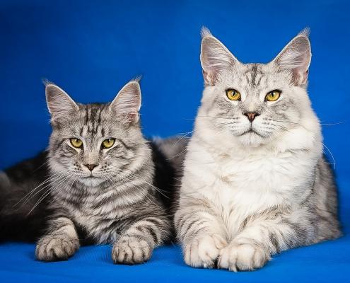 FeLV: leucemia virale felina