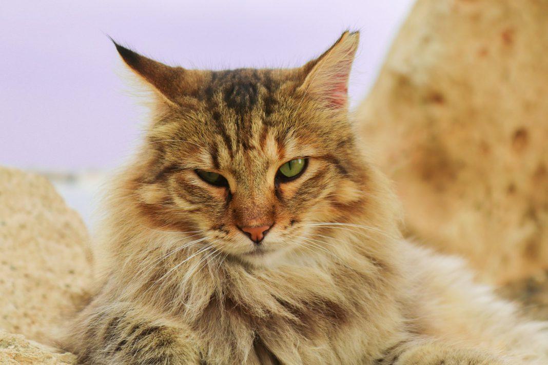 Come avere cura del pelo del gatto