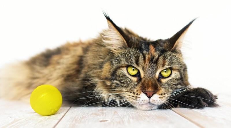 Qual è la dieta migliore per il tuo gatto Maine Coon?